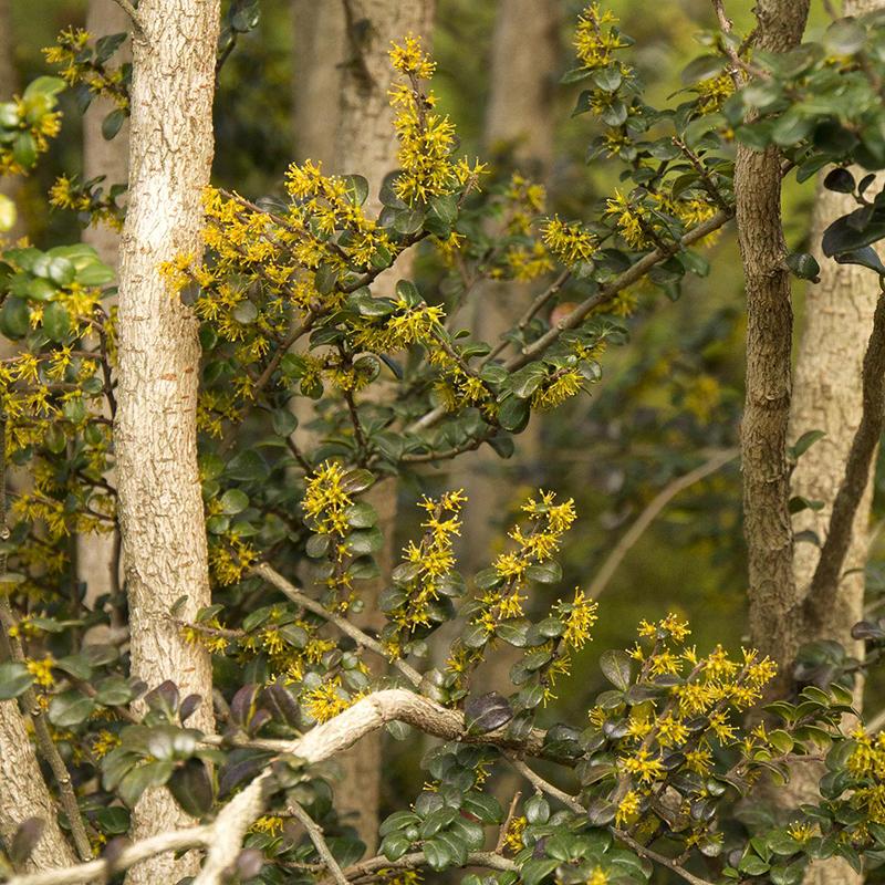 Box-Leaf Azara Tree with yellow flowers