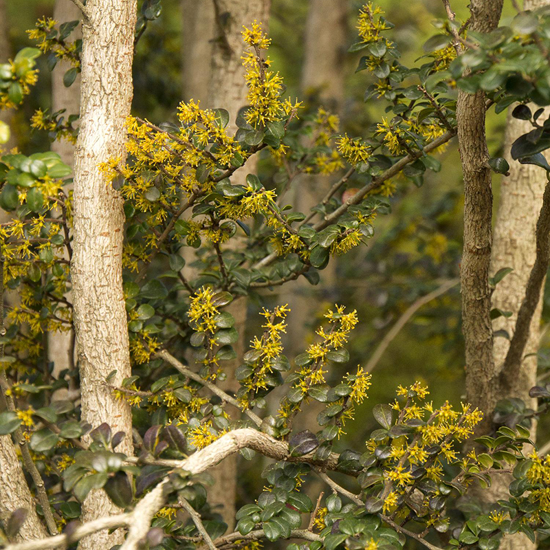 Box-Leaf Azara Tree with yellow flowers