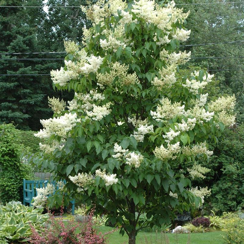 Ivory Silk Japanese Tree Lilac