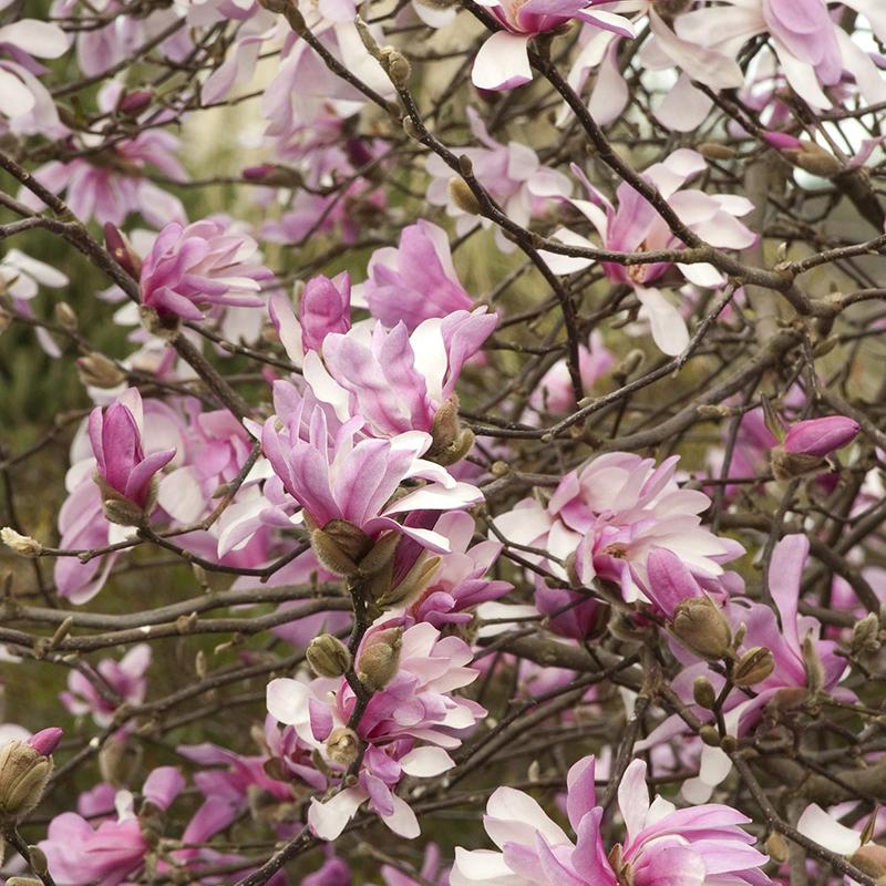 Leonard Messel Magnolia Tree