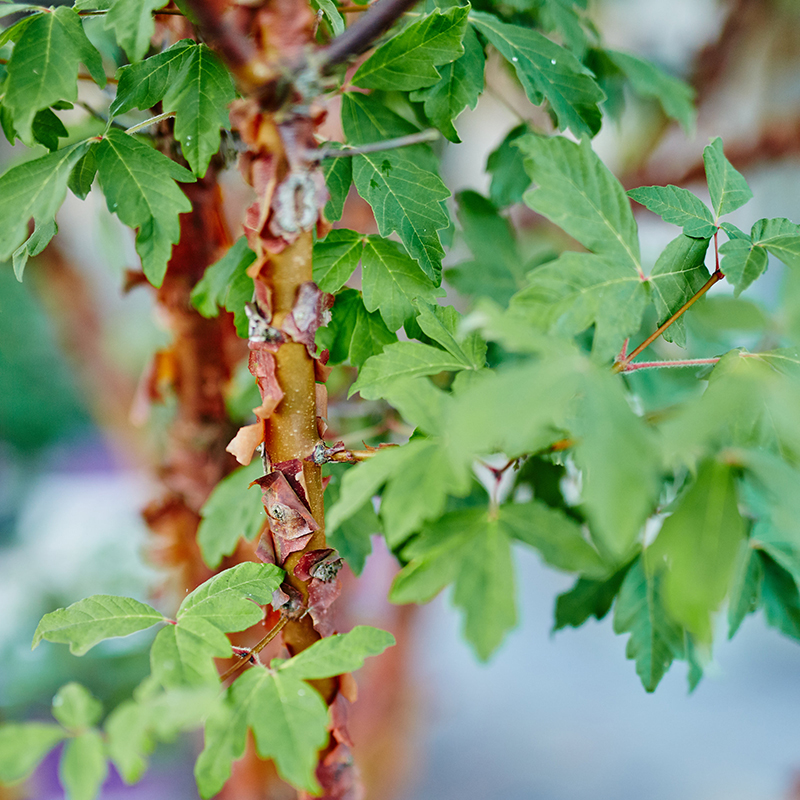Paperbark Maple Tree
