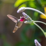 Anna's Hummingbird near flowers