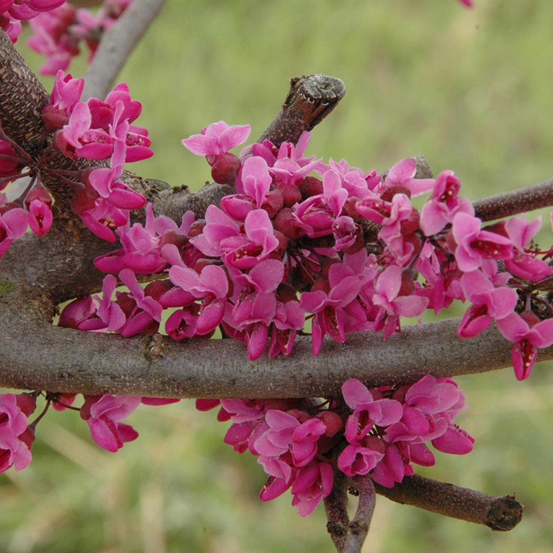 Merlot Redbud Tree