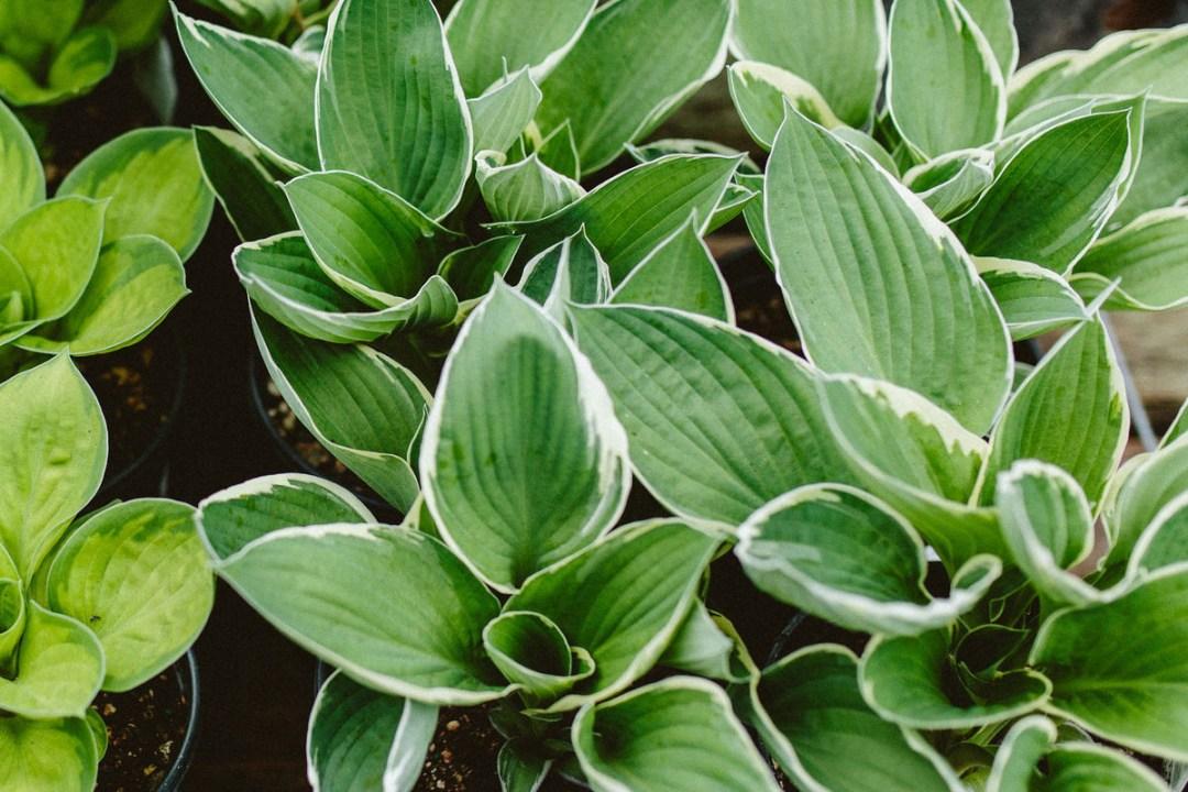 Variegated Hosta Plants