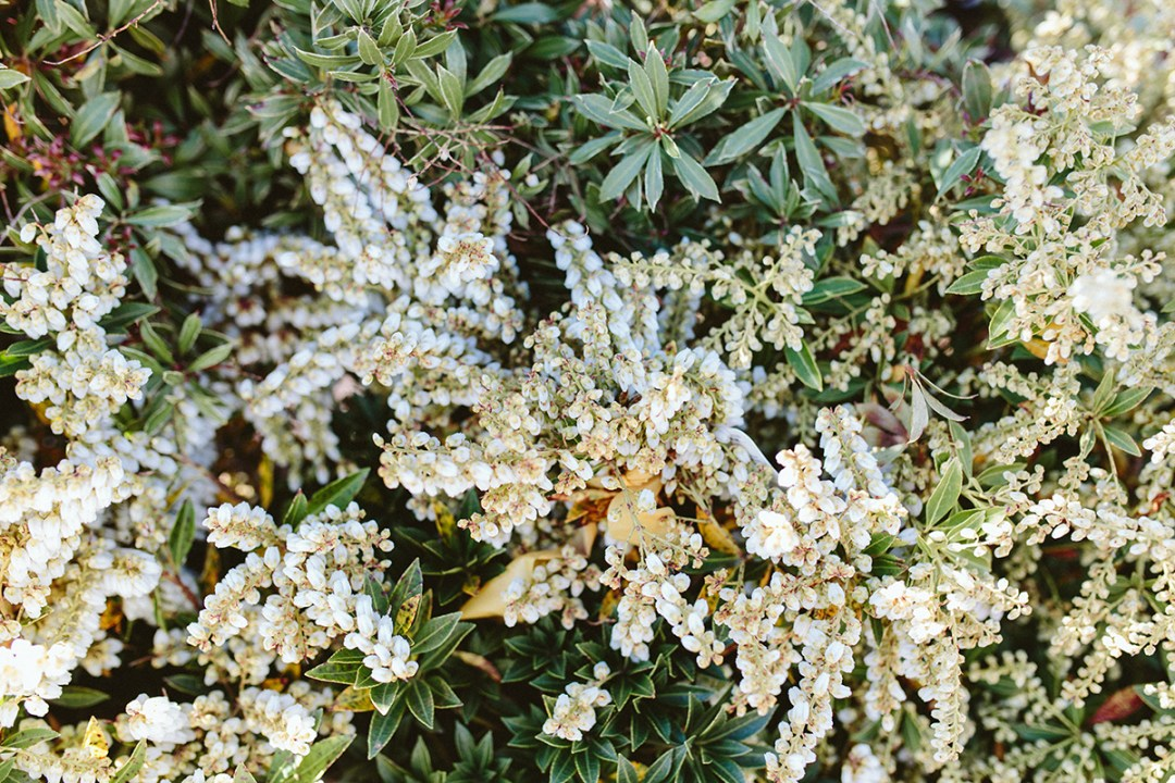 Pieris Japonica Flowers