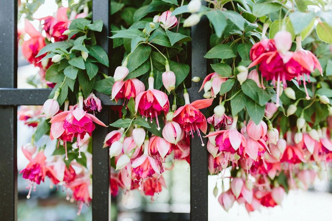 hanging pink fuchsia flowers