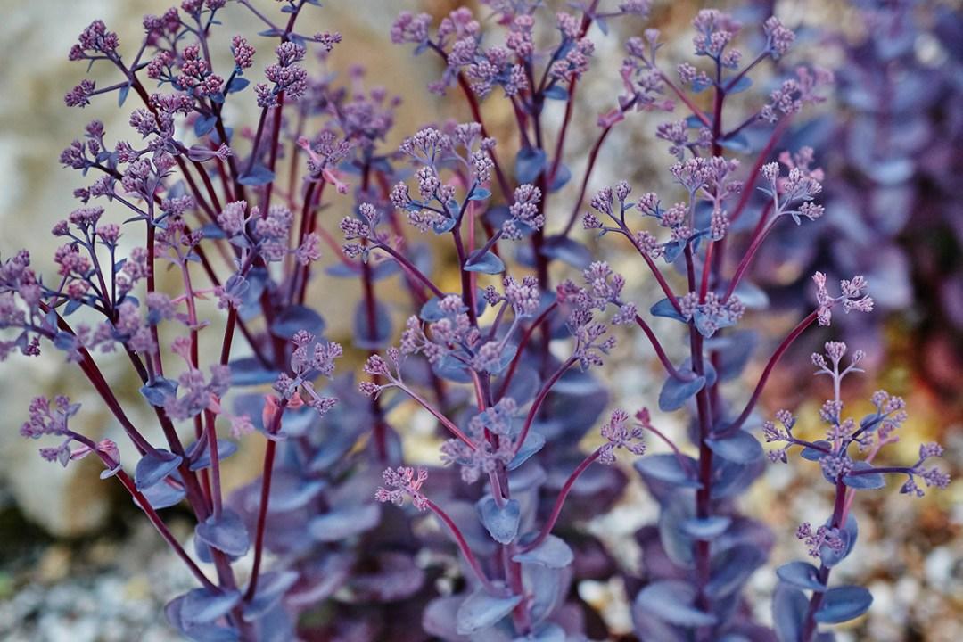 purple flowering sedum stonecrop