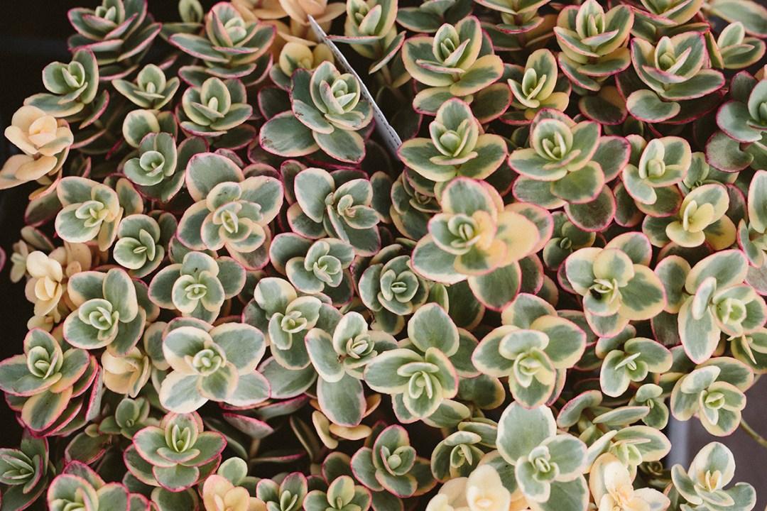sedum crassulaceae closeup