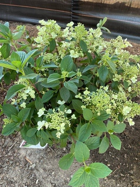 recovered hydrangea after heatwave