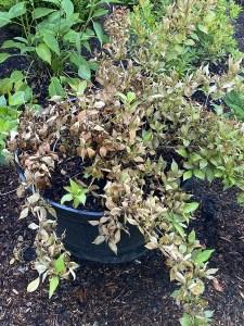 sunburned weigela plant
