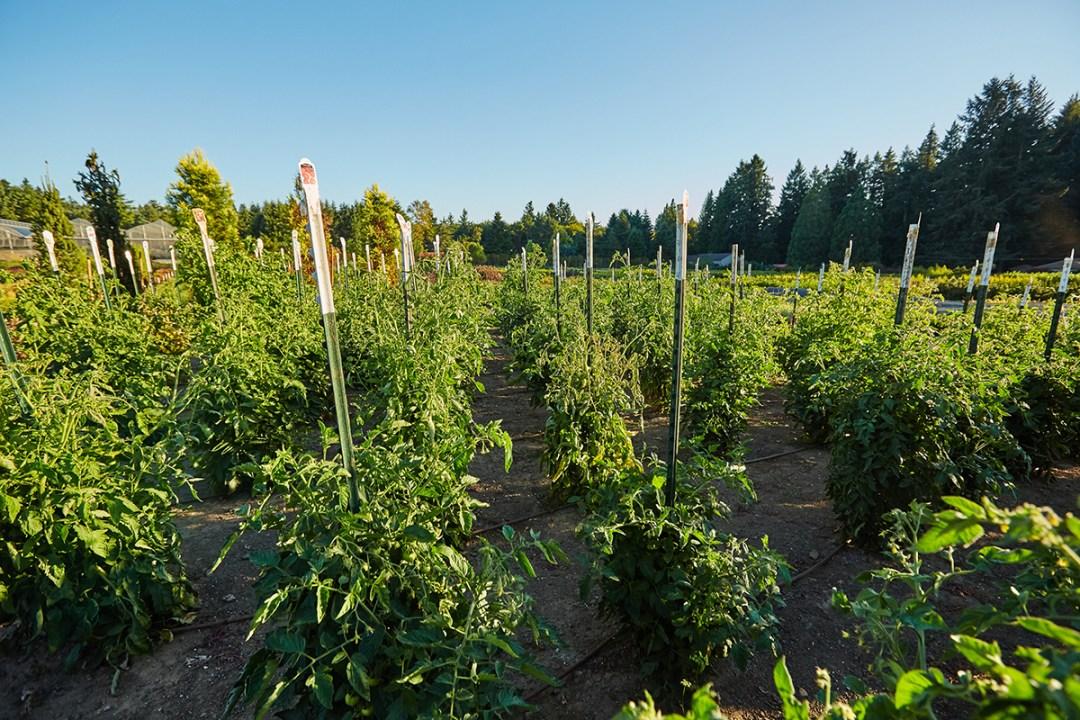giant tomato garden