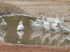 Kakadus im Kakadu Nationalpark