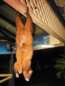 Possum Ostkueste Australien
