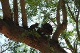 Affen auf Rang Hill