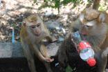 Affen auf dem Rang Hill Phuket