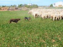 """""""Maxi"""" und """"Beth"""" passen auf dass alle Schafe zusammenbleiben"""