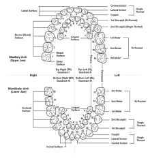 Diagram Of Teeth And Their Numbers Led Downlight Wiring Tooth Numbering Systems In Dentistry News Dentagama