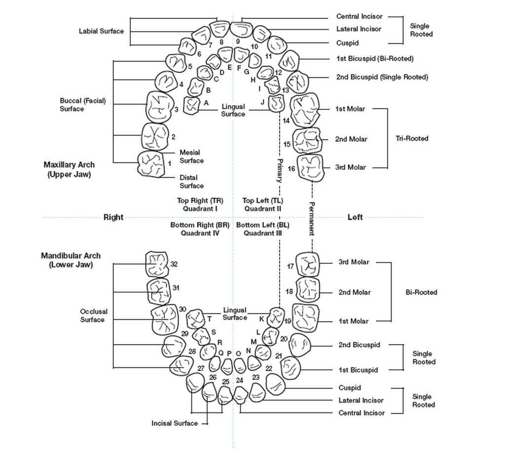 tooth layout diagram murray ignition switch numbering systems in dentistry news dentagama
