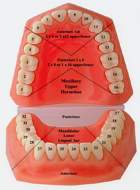 diagram of mouth with teeth numbers what is a flow chart tooth and illustrations