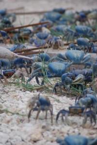 Blue crabs in Cancun