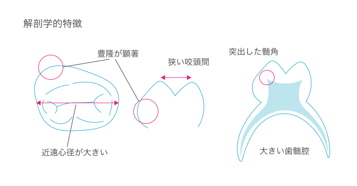 乳歯の解剖学的特徴