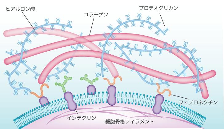 接着性タンパク質