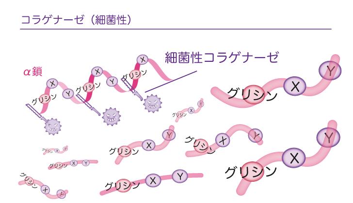 細菌性コラゲナーゼ