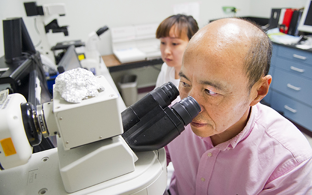 Dr. Jerry Feng, professor in biomedical sciences at TAMBCD, looks into a microscope in his research lab.