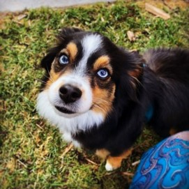 Juneau the Toy Aussie