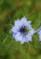 nigella-damascena-361389__340