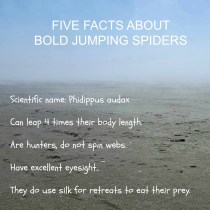Boldjumpingspiderfacts