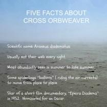 Cross Orbweaver