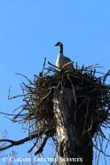 goose on osprey nest