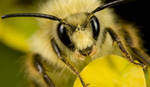Yellow-Faced Bees