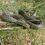 culebra verdiamarilla hierophis viridiflavus western whip snake