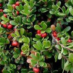 gayuba arctostaphylos uva-ursi bearberry