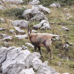 aigüestortes rebeco rupicabra pyrenaica chamois