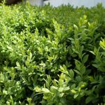 boj buxus sempervirens boxwood