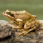 aigüestortes rana común rana temporaria common frog