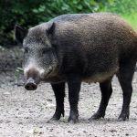Jabali sus scrofa wild pig