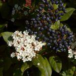 viburnum tinus durillo