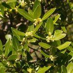 phyllirea latifolia labiernago de hoja ancha