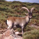 capra pyrenaica cabra montés