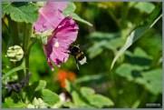 tuin_hvh_vlinderstruik_vlinders_hommels__146 (Kopie)