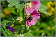 tuin_hvh_vlinderstruik_vlinders_hommels__148 (Kopie)
