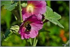 tuin_hvh_vlinderstruik_vlinders_hommels__160 (Kopie)