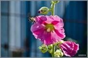 tuin_hvh_vlinderstruik_vlinders_hommels__176 (Kopie)