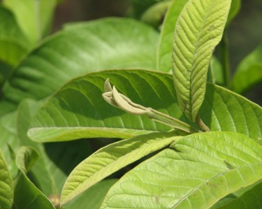 manfaat daun jambu