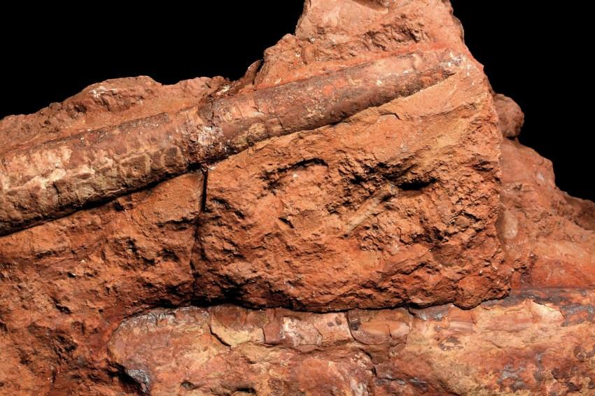 Ortoceratiter (Endoceras sp.)