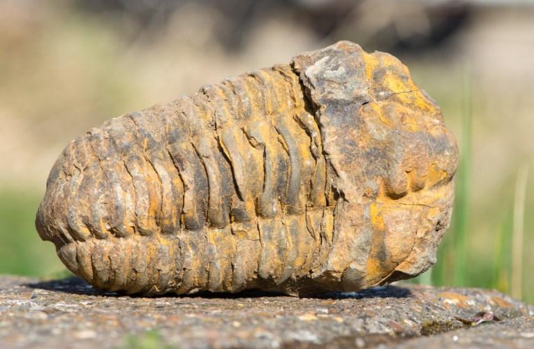 Essential collectibles #1: Diacalymene trilobites